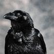 Raven Horror: